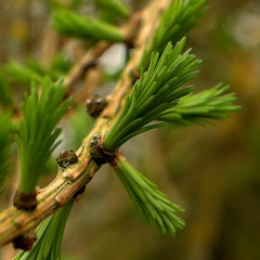 Larch leaves bursting forth (Victor Engmark) Tags: green branch brown leaves tree cutteslowe unitedkingdom larch conifer