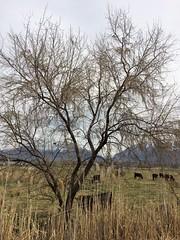 IMG_0605 (augiebenjamin) Tags: lakeviewparkway lakeshoredrive provo utah mountains provorivertrail trees spring winter spanishfork nebo bicentennialpark oremcity provocity utahvalley utahcounty oremarboretum