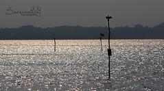 Kumarakom Lake (Saravana Raj) Tags: vaikom kerala kumarakom backwaters lake bird silhouette waterbird india poles