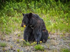 Black Bear, Tatshenshini-Alsek Park, British Columbia (www.clineriverphotography.com) Tags: tatshenshinialsekprovincialwildernesspark bear 2013 4x3 black canada fauna britishcolumbia location aspect