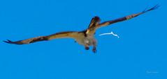 Nature Calling (telazac) Tags: wings poop nature crap shit relief hunting prey birdofprey feathers sky blue bird warmsprings deschutesriver osprey eastern oregon eyes wildlife