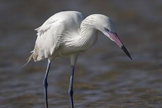 Reddish Egret -- white morph