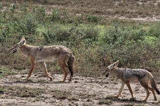 IMG_5057a - Golden Jackal (Canis aureus) (ad. & juv.), Tanzania - GPS #390