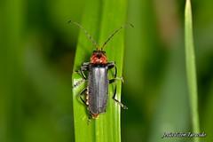 Cantharis (Cantharis) fusca Linnaeus, 1758 (Jesús Tizón Taracido) Tags: coleoptera polyphaga elateriformia elateroidea cantharidae cantharinae cantharini cantharisfusca