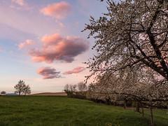 Couleurs du soir (Martial Blanchoud) Tags: nuages coucher campagne cerisier clouds vaud paysage olympus mzd124028 suisse ngc cloudsstormssunsetssunrises
