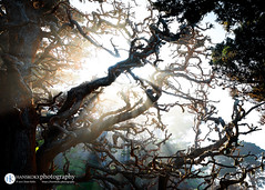 A burst of light (HANSKOKXphotography) Tags: rays california highway1 sunset travel fungus starburst pointlobos trees wanderlust coast pacific highwayone carmelbythesea unitedstates us