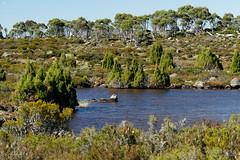 20170302-16-Pencil pines around lake (Roger T Wong) Tags: australia centralplateauconservationarea greatpinetier sel70300g sony70300 sonya7ii sonyalpha7ii sonyfe70300mmf2556goss sonyilce7m2 tasmania wha worldheritagearea bushwalk camp centralhighlands hike marsh trektramp walk