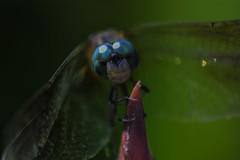 DragonFly_SAF9546-1 (sara97) Tags: copyright©2016saraannefinke dragonfly flyinginsect insect missouri mosquitohawk nature odonata outdoors photobysaraannefinke predator saintlouis towergrovepark urbanpark