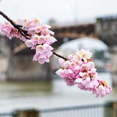 Cherry Blossoms in Bridgetown (Ben McLeod) Tags: cherryblossoms dof morrisonbridge oregon portland tommccallwaterfrontpark willametteriver bridge flower flowers rain river spring
