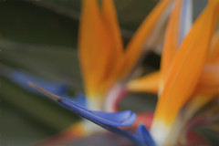 Abstract Bird of Paradise- ODC and Macro Mondays (Exdeltalady) Tags: birdofparadise flower ourdailychallenge macromondays macro abstract tropical blueandorange colorcombinations bird watercolor painting artistic