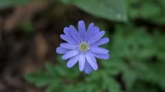 Anemone apennina (ΞSSΞ®®Ξ) Tags: ξssξ®®ξ pentax k5 flower angle 2017 plant outdoor smcpentaxm50mmf17 underwood spring anemoneapennina
