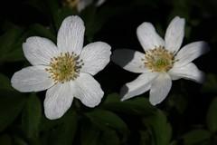 Anemone nemorosa (Hugo von Schreck) Tags: hugovonschreck anemonenemorosa buschwindröschen macro makro flower blume blüte wildflower wildblume canoneos5dsr tamron28300mmf3563divcpzda010