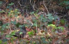 IMG_6983_Fotor01 (Ela's Zeichnungen und Fotografie) Tags: hannover landschaft natur tier vogel amsel blätter laub busch sonnenlicht äste