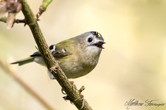 Goldcrest (Regulus Regulus) (CentricMalteser) Tags: bird birds wildlifeanimal wildlife animal animals wildlifeanimals matthewfarrugia matthew farrugia centricmalteser canon7dmkii canon 7d mkii eos7dmkii canoneos7dmkii eos canoneos eastanglia 7dmkii rivernene ferry meadows ferrymeadows nenepark neneparktrust peterborough cambridgeshire march2017 march 2017 goldcrest regulusregulus regulus