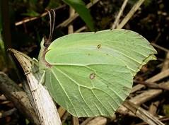 Brimstone - Gonepteryx rhamni (Camerar) Tags: butterflies butterfly insect brimstone gonepteryxrhamni pieridae uk