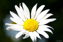 Daisy (joe petruz) Tags: daisy flower spring yellow minimal macro field close up canon eos 650d light summer white petals flowers torino italy petruz nature garden outdoor park green holiday