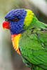 I Send You A Picture Of Me (Alfred Grupstra) Tags: hoenderdaell bird portrait annapaulowna noordholland nederland nl parrot animal multicolored pets wildlife feather nature yellow beak tropicalclimate blue greencolor closeup red animalsinthewild colors looking vibrantcolor animaleye