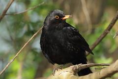 Male Common Blackbird (Turdus merula) (sdflickr2) Tags: attenboroughnaturereserve nottinghamshire male commonblackbird turdusmerula