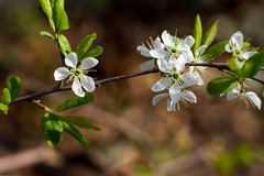 White beauty (lensflare82) Tags: blossom blüte makro macro blume flower pflanze plant baum tree natur nature eos 700d canon shutterbug weis white outdoor cherry kirsche printemps frühling spring