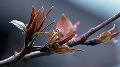 Spring has finally Sprung here !! (Bob's Digital Eye) Tags: 2017 bobsdigitaleye buds canon canonefs55250mmf456isstm flicker flickr leaf organictexture outdoor plant spring t3i depthoffield macro