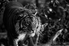 dans les ténèbres (rondoudou87) Tags: tiger tigre pentax k1 parc zoo reynou nature natur noiretblanc noir bokeh blanc black blackwhite wildlife wild white wildcat monochrome