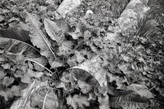 pain and balm (OhDark30) Tags: olympus 35rc 35 rc 35mm film monochrome bw blackandwhite bwfp fomapan 200 rodinal leaves plants newgrowth spring nettles dockleaves dock