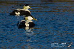 Common Eider (Somateria mollissima) (gcampbellphoto) Tags: common eider somateria mollissima seaduck bird nature wildlife atlantic north antrim northern ireland avian gcamobellphoto animal outdoor