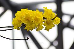 Brazilian Ipé-amarelo 7 (C & R Driver-Burgess) Tags: yellow blossom flower tree silhouette spar