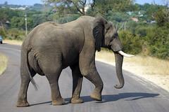 DSC06009 - KRUGER-PARK (HerryB) Tags: 2017 southafrica afrique afrika sar sonyalpha77 sonyalpha99 tamron alpha bechen fotos photos photography sony herryb mpumalanga gamedrive pirschfahrt 4x4 toyota busch bush kruger nationalpark krüger ga