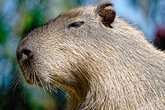 Loro Parque (Tuomo Lindfors) Tags: canaryislands canarias kanariansaaret kanaria islascanarias tenerife teneriffa dxo filmpack puertodelacruz loroparque eläintarha zoo capybara kapybara espanja spain