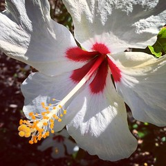 Hibiscus (PeterCH51) Tags: hibiscus flower white mountsbotanicalgarden westpalmbeach florida garden botanicalgarden makro closeup iphone square squareformat explore explored inexplore peterch51