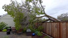 photo - Big Wind Storm Last Night (Jassy-50) Tags: photo alameda california storm tree fence backyard yard patio panorama bench chair seat hbm oops