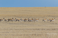 April 9, 2017 - Pronghorn on the run in Adams County. (Tony's Takes)