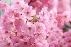 Sakura (Teruhide Tomori) Tags: cherryblossom kyoto japan tree pink flower spring nature sakura toji 京都 日本 東寺 桜 花 春 blossom garden japon macro