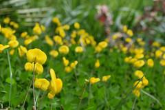 DSC_0566 (Kelson Souza) Tags: flor flores amarelo amarela florzinha flower