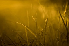 Summer vibes! (traptiantiwary) Tags: morning sunlight field grass grassstems bokeh nature goldenhour canon canoneos