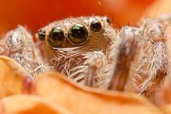 Side look #Nikon (shravann93) Tags: nikon reversemacro india macro macrophotography orange spider insect eyes flickrfriday flikar d3200 green flash