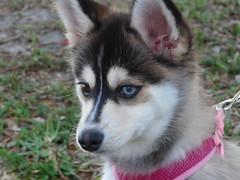 Pout   --   L1060123[1] (mshnaya ☺) Tags: pomeranian husky dog pet canine friend perro hund best animal pomsky