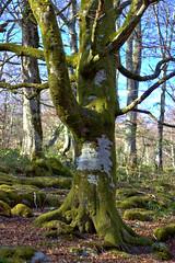 Árbol solitario (S H Candela) Tags: arbol musgo canon raw nervion bosque naturaleza