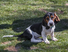 IMG_8193 (BFDfoster_dad) Tags: basset hound puppy