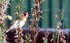 Finch(es) in April -001 (JayVeeAre (JvR)) Tags: ©2017johannesvanrooy bird birdfeeding birds birdsfeeding finch johannesvanrooy johnvanrooy gimp28 picasa3 httpwwwflickrcomphotosjayveeare johnvanrooygmailcom gimpuser gimpforphotography canonpowershotsx60hs wildflowerseeds wildflowers