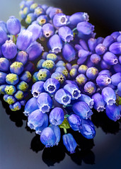 Grape Hyacinths (docoverachiever) Tags: grapehyacinths plant macro flowers backyard purple flower postprocessing spring blue
