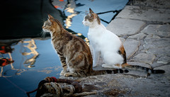 When The Boat Comes In (Rupert Brun) Tags: 2016 greece greek holiday ionian paxos cat cats watch wait hope hopefull evening quay reflection sit sitting sea harbour boat
