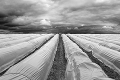 Asparagus Time (panfot_O (Bernd Walz)) Tags: field fields asparagus spargel spargelfeld agriculture rural countryside landscape cultivation transformedlandscape clouds blackandwhite bnw bw monochrome fineart contemplation order geometry brandenburg germany