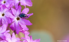 Iridescent beetle on sand verbena (Photosuze) Tags: beetles insects bugs coleoptera colorful iridescent flower sandverbena desert california nature wildlife animals