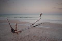 Lovers Key State Park, Florida (X street) Tags: loverskeystatepark fortmyers sunrise bird fauna florida gulfofmexico sea seascape wonderfulworld