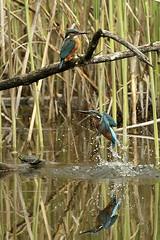 Martins pêcheurs_W0A7929 (CloLachat) Tags: nature branches roseaux oiseaux martins pêcheurs couple centrenature birdlife cudrefin