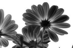 La soluzione potrebbe essere quella di cambiare il proprio punto di vista! (Marco_964) Tags: pov lowpov fiore flower bn biancnero bw blackwhite controluce backlight pentax clubromanofotografiabw change cambiare