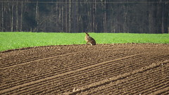 Hare on the horizon (hedgehoggarden1) Tags: norfolk eastanglia uk mammals field animal horizon canon canonpowershotsx50hs bridgecamera nature wildlife hare