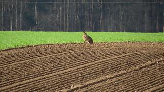Hare on the horizon